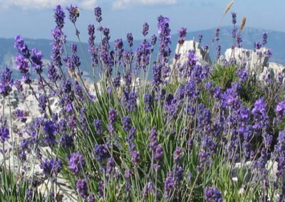 Lavender in the mountains