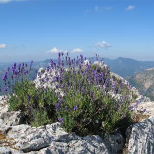 True Mountain Lavender